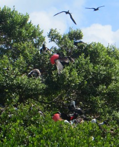 Frigate birds in trees