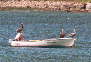 Pelicans on boat