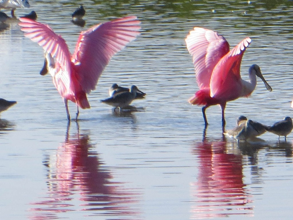 Two spoonbills